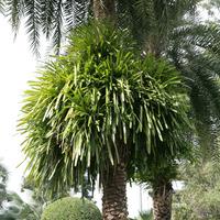 На неровной поверхности ствола пальмы Цимбидиум разрастается сильнее