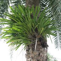 Цимбидиум, растущий на пальме