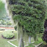 Горшечное дерево
