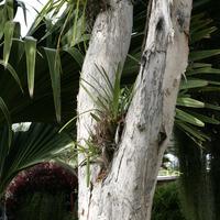 Цимбидиум на дереве