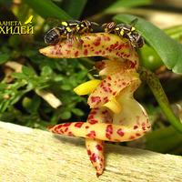 Опыление Bulbophyllum lasiochillum. Две подружки - друг против дружки