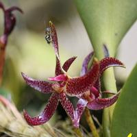 Опыление Bulbophyllum patens. Маленькая оса  жила в цветке неделю