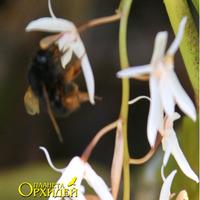 Опыление Coelogyne sp. Шмель пьет нектар цветка Coelogyne sp.