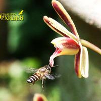 Опыление Cymbidium sp. Пчела подлетает к цветку