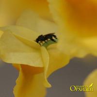 Опыление Dendrobium sp. Муха пьет нектар цветка Dendrobium sp.