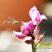 Опыление Spathoglottis sp. Оса летит к бутону цветка Spathoglottis sp.