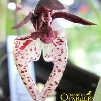 Опыление Bulbophyllum lasioglossum
