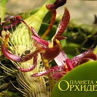 Опыление Bulbophyllum patens