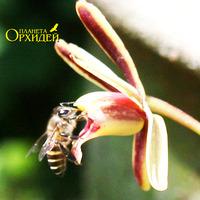 Опыление Cymbidium sp. Пчела пьет нектар, выделяемый цветком