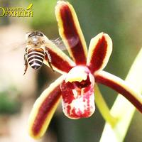 Опыление Cymbidium sp. Пчела соскребает нектар с лепестка цветка