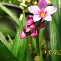 Опыление Spathoglottis sp. Муравьи  соскребают нектар c бутона Spathoglottis sp.