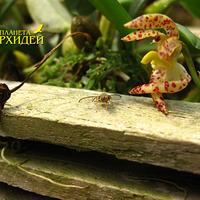 Опыление Bulbophyllum lasiochillum. Оса только что выползла из цветка