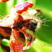 Опыление Spathoglottis sp. Гусеница лакомится  лепестками цветка Spathoglottis sp.