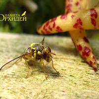 Опыление Bulbophyllum lasiochillum. Опьяневшая от нектара  оса еле держится на лапках