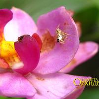 Опыление Spathoglottis sp. Паук мезумена  охотится  на появляющихся любителей нектара <br>(заинтересовался камерой)