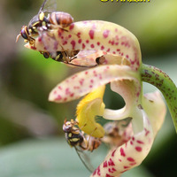 Опыление Bulbophyllum lasiochillum