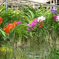 Аскоценды и Ванды с длинными толстыми корнями. Внизу лежит шланг. В жаркие дни их поливают прямо из шланга, но не видно больных растений. Часто поливают траву под растениями, чтобы обеспечить необходимую влажность. В сухой период, когда солнце выжигает всё вокруг, неудачно размещённые Ванды могут просто высохнуть