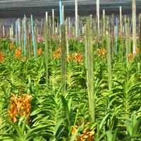 В пригороде Бангкока  располагаются поля орхидей, выращиваемых по договорам на срезку. Большую часть составляют гибридные Ванды жёлтой окраски, Аранды, Мокара, Ренантера