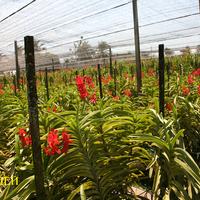Красные гибриды считаются наиболее ценными в Таиланде. Но спрос больше на жёлтые цветы.