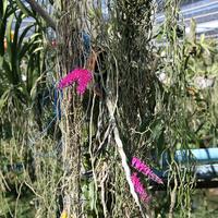 Гигантский Дендробиум односторонний  (Dendrobium secundum) в саду