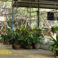 Центральный вход украшен горшками с орхидеями - гибридными Каттлеями