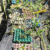 Выращивание Дендробиумов