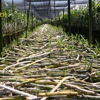 Дендробиумы на выращивании. Видны новые росты