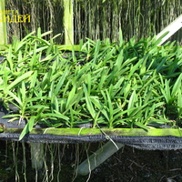 А таким образом выращиваются молодые вандовые. Сеянцы просто раскладываются на сетке. Сверху их греет солнце, а снизу влажно. Все корни направлены вниз в поисках влаги