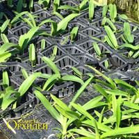 На этой фотографии сеянцы каждый в отдельном горшочке. Всё это находится  наверху между рядов взрослых растений. У этих сеянцев корни также тянутся вниз к земле в поисках влаги