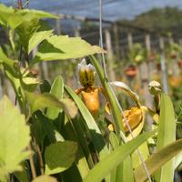 Весёлый башмачок на одной из ферм выглядывает из-под листьев