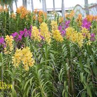 Орхидеи закрывают стены, обживают дворики, очень хорошо сочетаются с пальмами