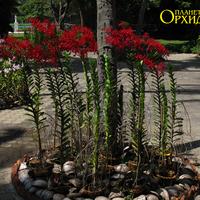 Типичное украшение - посадки орхидей вокруг деревьев и пальм. Как правило, всё находятся в кокосах