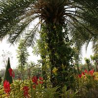В парках встречаются целые аллеи из орхидей. Композиция на дереве