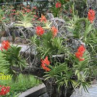 Огромный букет Аскоцентрума изогнутолистного (Ascocentrum curvifolium)