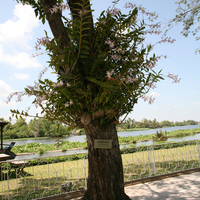 Один из способов прикрепления Дендробиумов к дереву - посадка в кокосе