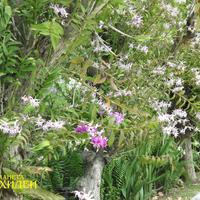 Аллея Дендробиумов. Внизу лавочка - можно отдохнуть под сенью орхидей