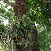Дендробиум скученный (Dendrobium aggregatum)