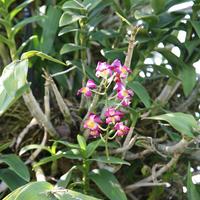 Дендробиум интересной расцветки на дереве