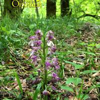 Соцветие Orchis militaris на лесной поляне