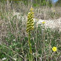 Orchis punctulata Ятрышник мелкоточечный на каменистом склоне