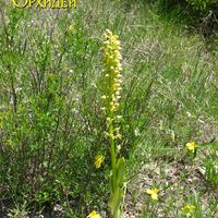 одиночная Orchis punctulata Orchis punctulata на крутом склоне