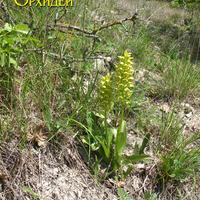 Orchis punctulata вместе со взрослыми <br>произрастают и ювенальные растения