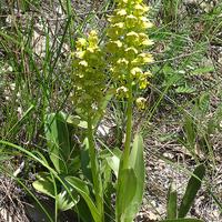 Orchis punctulata Orchis punctulata на склоне в горах