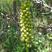 Orchis punctulata соцветие плотное,<br>в виде початка