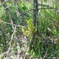 Orchis punctulata цветки начинают открываться