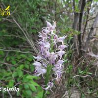 Orchis simia цветет в апреле