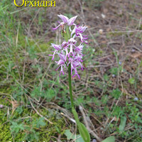Orchis simia  с густым цветоносом