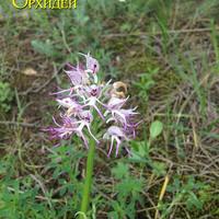 Orchis simia  - орхидея Краснодарского края