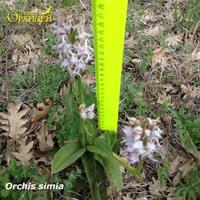 Ятрышник обезьяний – орхидея Краснодарского края