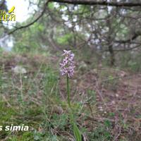 Orchis simia на опушке зарослей